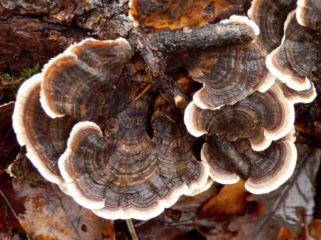 The Powerful Health Benefits Of Turkey Tail Mushrooms Thermography Health And Wellness With Victoria Bailey Cct Cnhp Ldhs