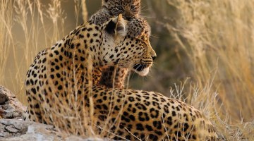 Magical - Filming Luna with her cubs was the highlight of Mr Lochner's two-year project immersed in the Kalahari Desert, describing the special moments with the cubs as 'incredible'