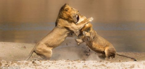Hands off! A young lion is attacked by a member of a separate pride after attempting to muscle in on dinner