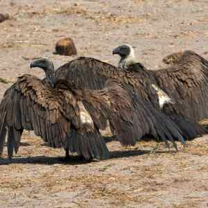 Vultures catching the sun in Hwange National Park