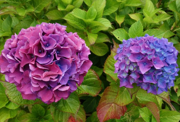 Stunning hydrangeas at Glencolmcille Folk Village.