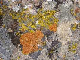 Lichen on a rock