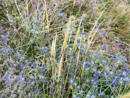 Blue devil and plume grass