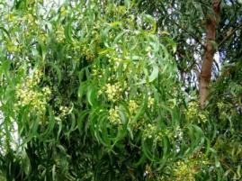 Lightwood, Acacia implexa
