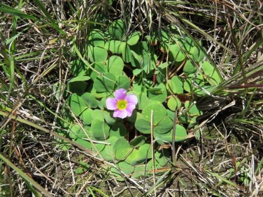 Oxalis purpurea Cemetery Oxalis