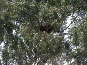 Goshawk nest