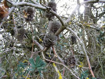 Banksia seed cones