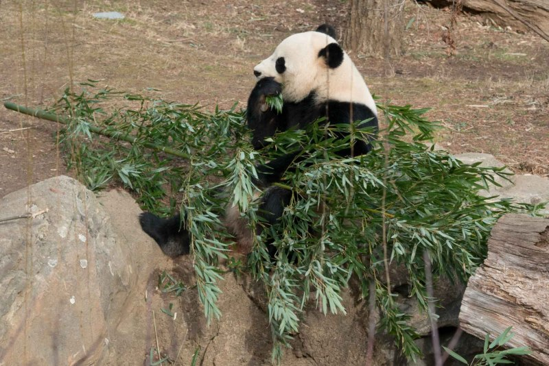 Farewell to Bao Bao