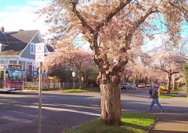 South Turner Street trees in bloom