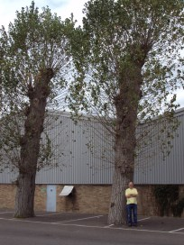 (8) These are big old trees. It is sad to see them surrounded by tarmac