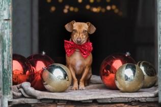 shelter_pet_photographer_christmas