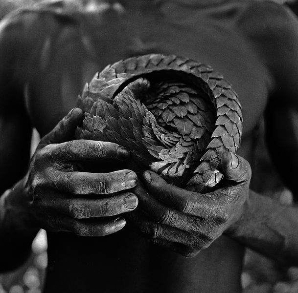 A man holds a curled-up pangolin. It looks like a scaly ball with a tail.