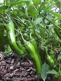 Guajillo pepper seeds
