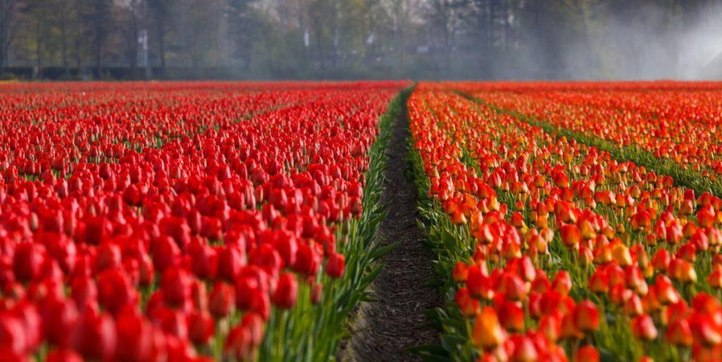 tulips-21690_1920