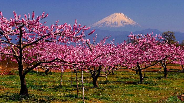 Mt.fuji-peach-tree-m_181669-jnto_Equinócio-da-Primavera-no-Japão-10-dicas-do-que-fazer-nessa-estação_Viajando-para-o-Japão_Vida-de-Tsuge-VDT