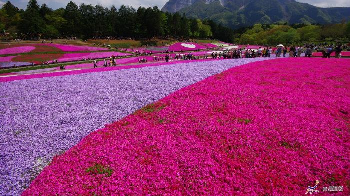 Shibazakura-161011-jnto_Equinócio-da-Primavera-no-Japão-10-dicas-do-que-fazer-nessa-estação_Viajando-para-o-Japão_Vida-de-Tsuge-VDT