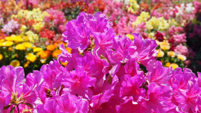 Azalea satsuki - Primavera no Japão - Vida de Tsuge