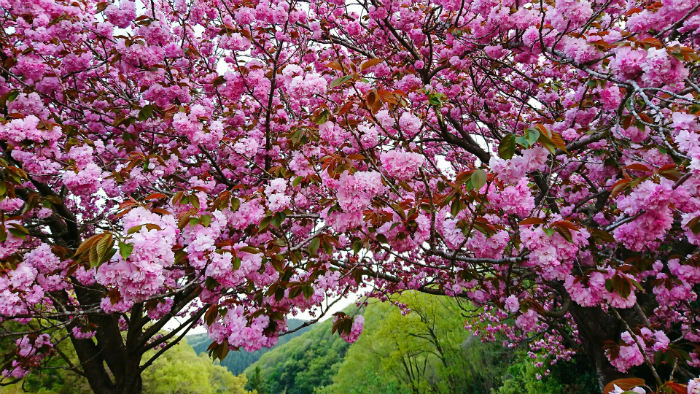 Cherry - Primavera no Japão - Vida de Tsuge