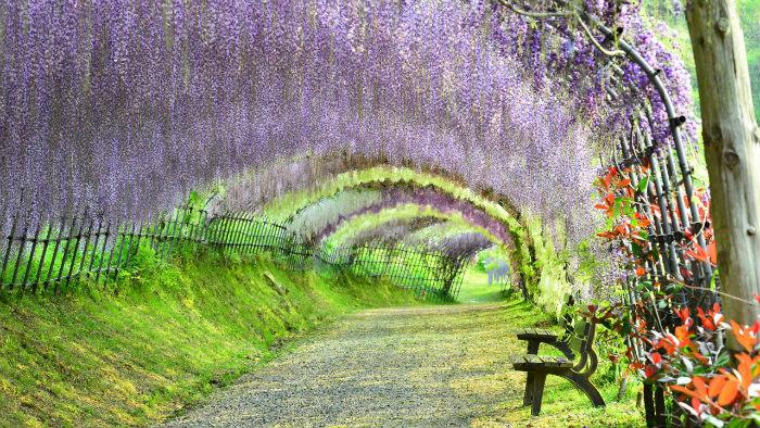 kawachi wisteria m182775-jnto - Primavera no Japão - Vida de Tsuge