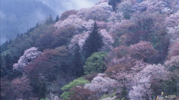 m_105035_explorando-o-sakura-matsuri_viagem-japao_vida-de-tsuge-vdt