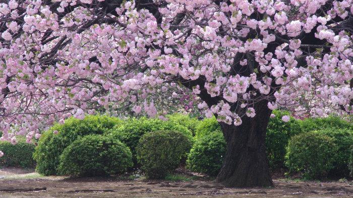 m_181973_explorando-o-sakura-matsuri_viagem-japao_vida-de-tsuge-vdt