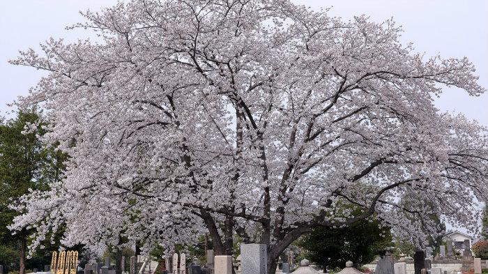 somei-sakura-img_9998_180328_045650_explorando-o-sakura-matsuri_viagem-japao_vida-de-tsuge-vdt
