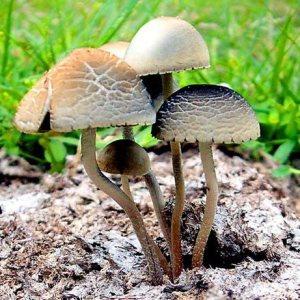 Buy Panaeolus cyanescens Online