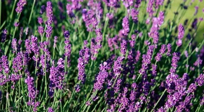 Aromaterapia – Óleo essencial de Alfazema
