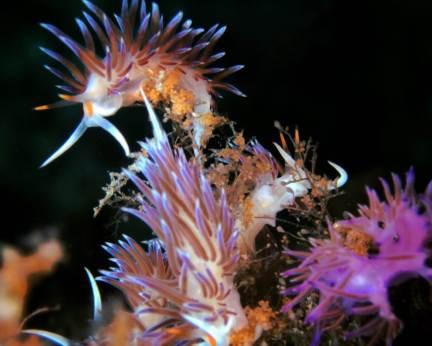 Cratena peregrina y Flabellina affinis por Eli FV