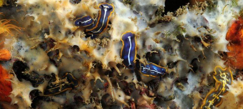 Grupo de Felimare fontandraui sobre Dysidea avara, por Miquel Pontes