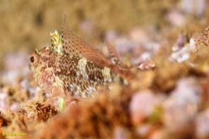 Tripterygion tripteronotus