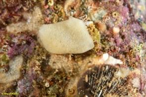 Paraleucilla magna, Chlamys varia i tunicat colonial blanc desconegut