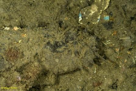 Deixalles plàstic i Holothuria tubulosa