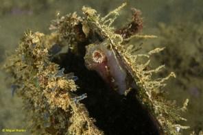 _MPG1218 Pinna nobilis morta amb Ascidia mentula i Branchiomma sp dins