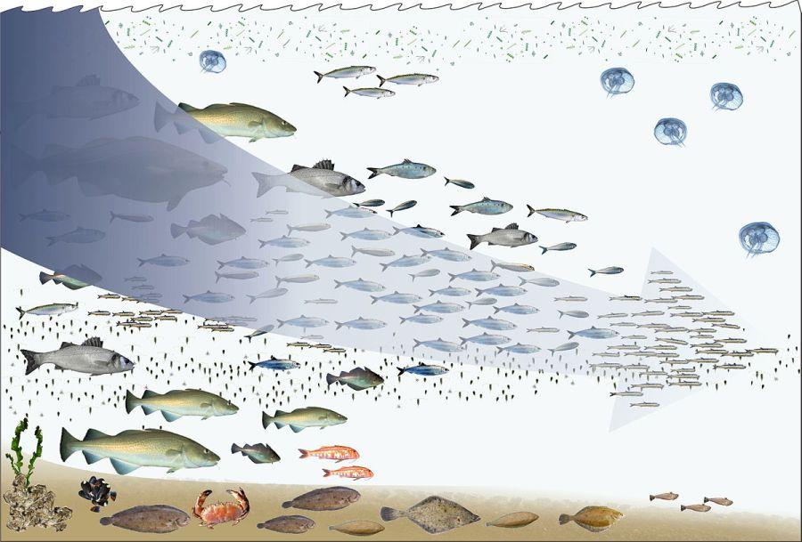 Impacto de la pesca en la cadena trófica marina, una cadena que cambiará. Dibujo de Hans Hillewaert (2009) inspirado por el trabajo de Pauly et al (2003) Lic. CC BY-SA