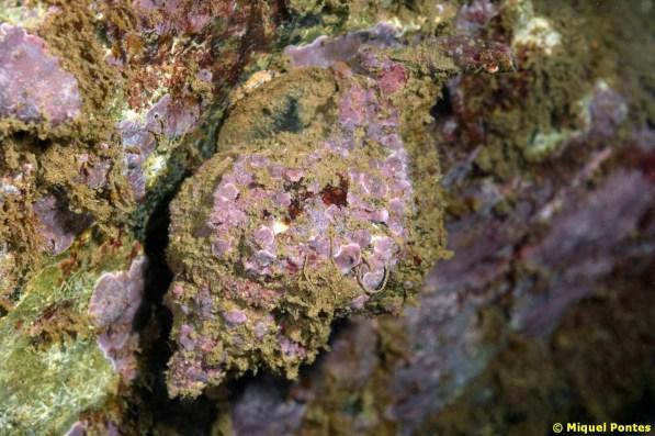 Hexaplex trunculus