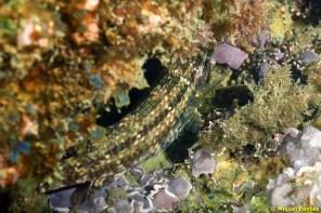 Symphodus roissali camuflat