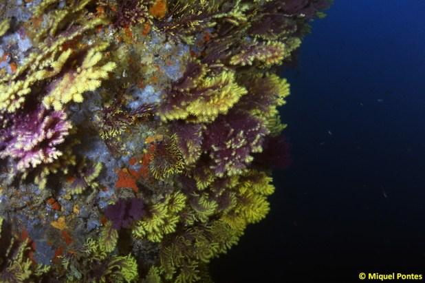 Las gorgonias abundan en la pared norte, donde hay más corriente. Por Miquel Pontes