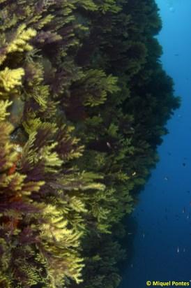 Pared llena de gorgonias Paramuricea clavata, por Miquel Pontes