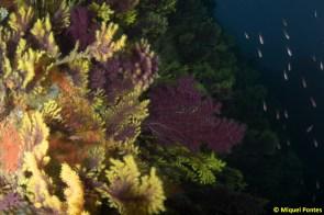 Paisaje de gorgonias Paramuricea clavata, por Miquel Pontes