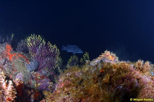 Labrus merula cazando entre las gorgonias, por Miquel Pontes