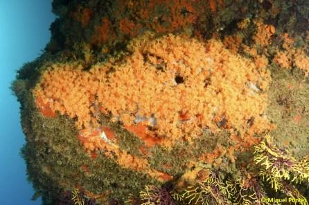 Parazoanthus axinellae por Miquel Pontes