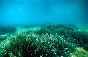 Pradera de Posidonia oceánica en Es Caials, Cadaqués, España, fotografiado por Miquel Pontes