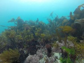 Bosque de Kelp fotografiado por Albert Pessarrodona