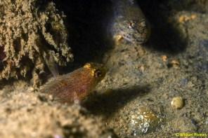 Gobius xanthocephalus y Gobius cf. cobitis