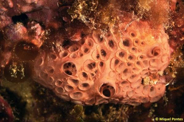 Hemimycale columella por Miquel Pontes