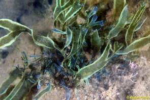 Dictyota cyanoloma