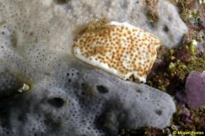 Didemnum sp y Didemnum maculosum por Miquel Pontes
