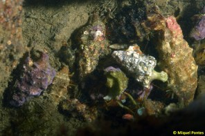 Multitud de Clibanarius erythropus en conchas de Cerithium vulgatum por Miquel Pontes
