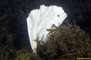 Plastic entre algues